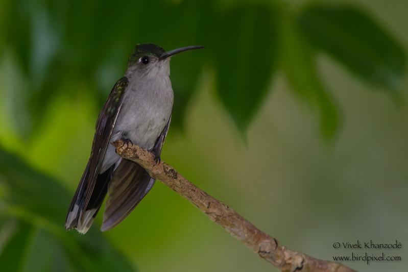 Fork-tailed Woodnymph - Female - Amazonia Lodge, Nr. Manu National Park, Peru