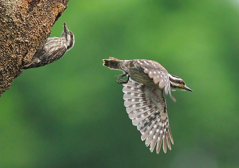 Sunda Pygmy Woodpecker1.jpg
