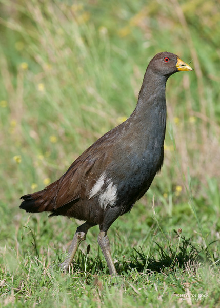 Tasmanian Native-hen, Eaglehawk Neck, TAS, Feb 2011-3.jpg