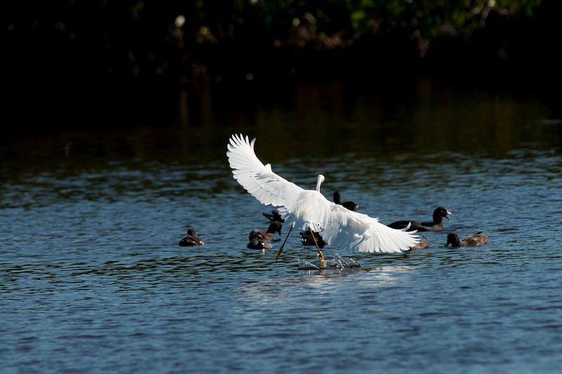 Snowy egret landing in Mazrek Pond Everglades National Park Florida © 2010