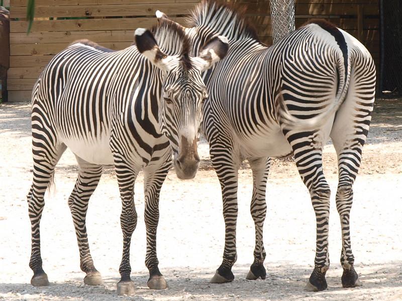 Zebras, St. Louis Zoo