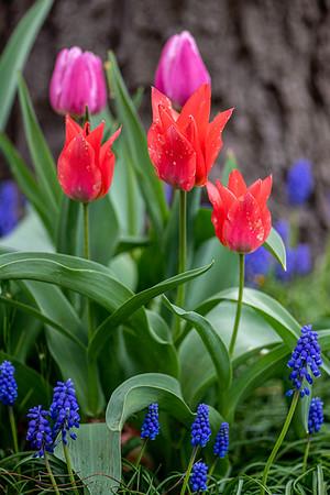 Art's Garden 2020 Tulips