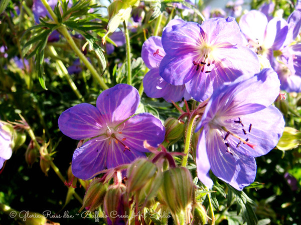 wild Geraniums from Montana looking at the sun