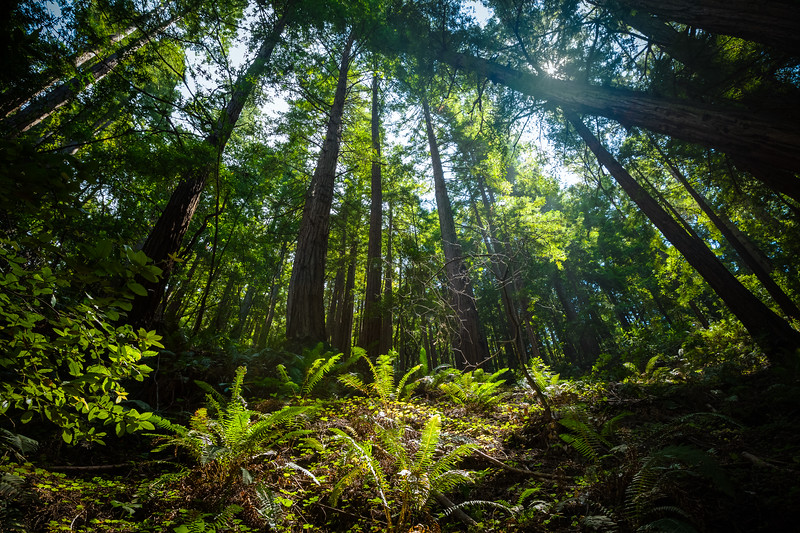 Forest in the Redwoods-.jpg