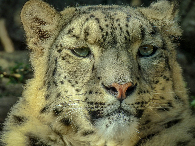 Beautiful Leopard - Paris Zoo