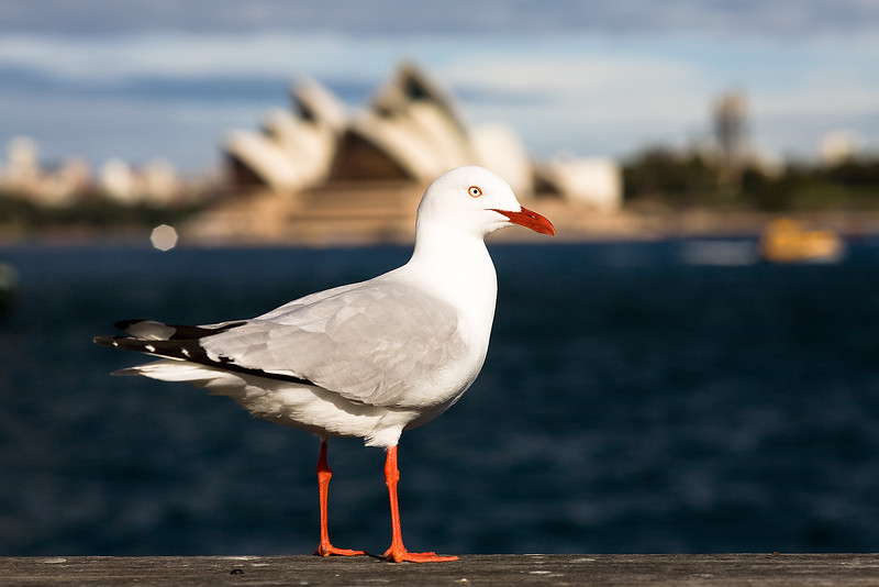 Möve vor der Sydney Oper