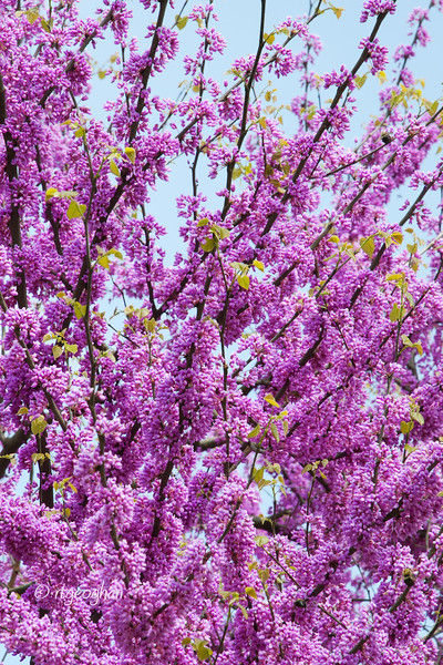 Trees_Redbud Tree Blossoms_0215.jpg