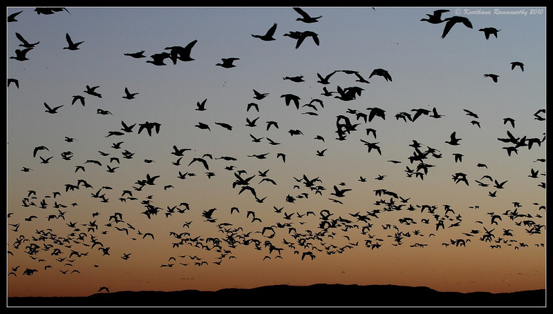 Snow Geese early morning liftoff, Bosque Del Apache, Socorro, New Mexico, November 2010