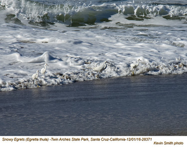 Snowy Egrets 28371.jpg