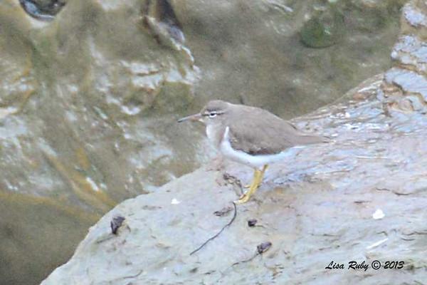 Spotted Sandpiper - 12/1/13 - La Jolla Cove