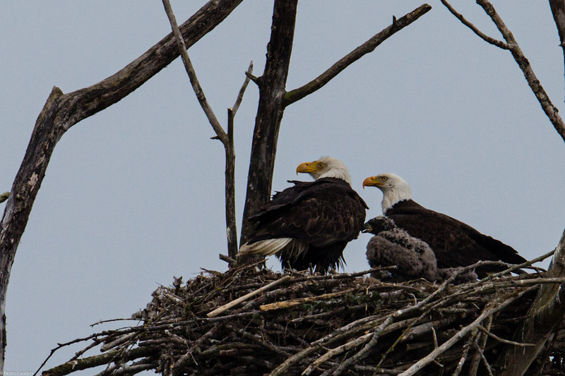 Eagles at Home.jpg