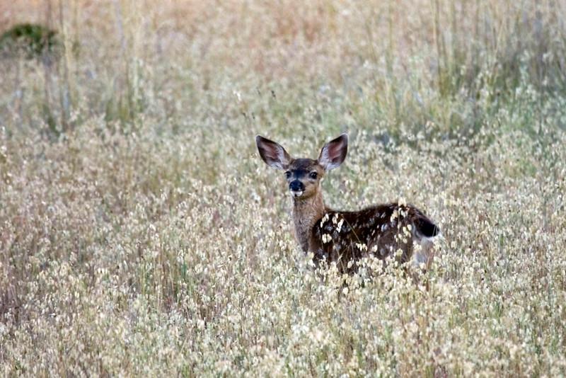 Blacktailed deer fawn, Marin Watershed, near Lake Lagunitas