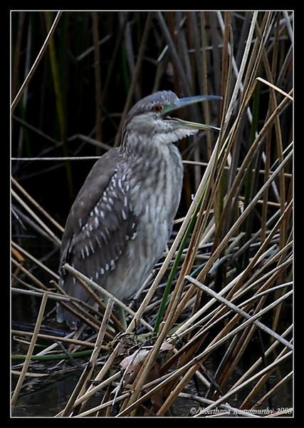 Juvenile Black-crowned Night Heron, Famosa Slough, San Diego County, California, February 2009