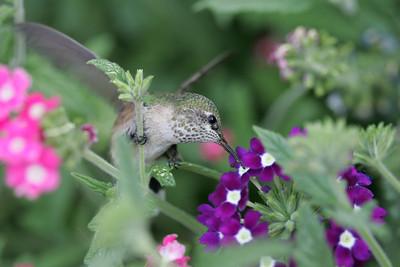 Hummingbird in South Dakota 7-30-06