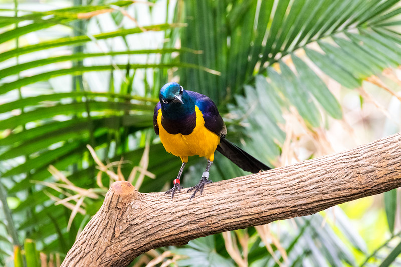 golden-breasted-starling_17975527871_o.jpg