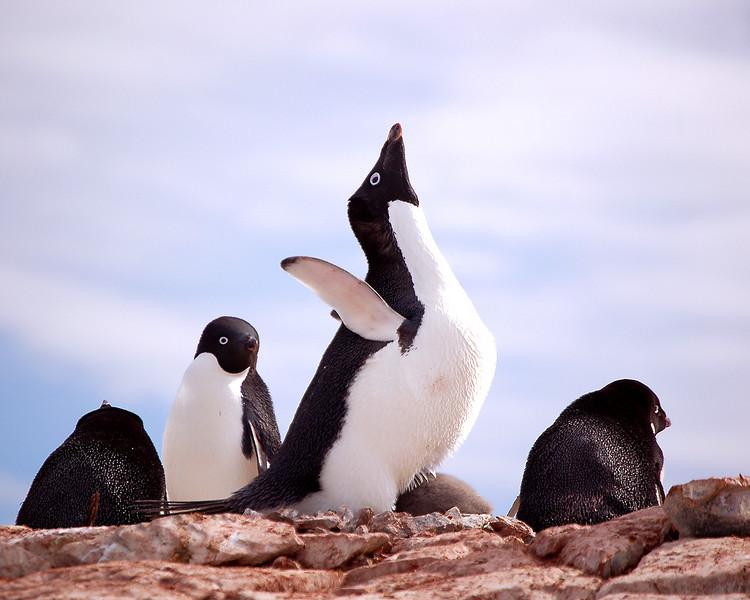Antarctica: Adelie Penguin with Chicks