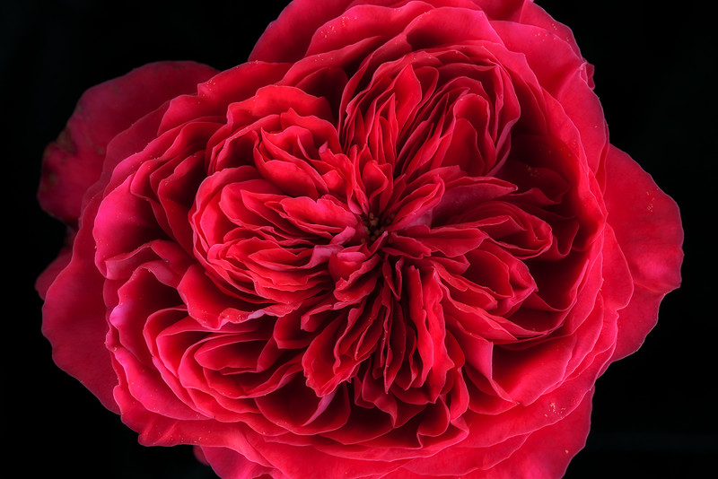 red-double-english-rose.jpg