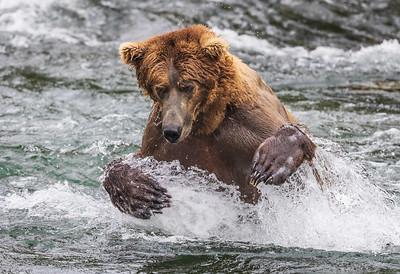 Brown Bear Plunge