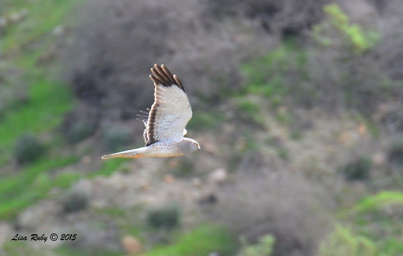 Male Northern Harrier - 1/25/2015 - Borderfield State Park