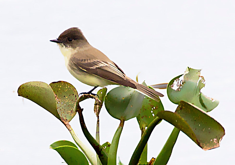 Many nice small birds.  This is a Dusky-capped Flycatcher.