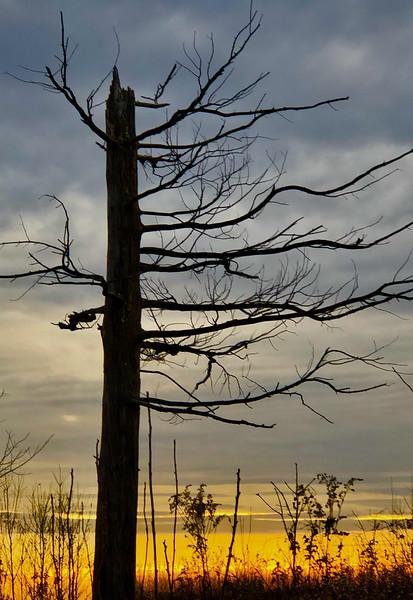 tree at carlos avery.jpg
