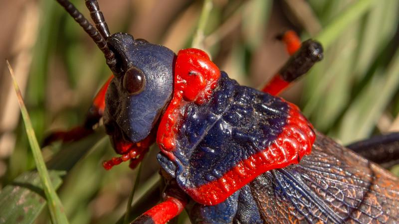 Koppie Foam Grasshopper, Dictyophorus spumans. Giants Castle Game Reserve.
