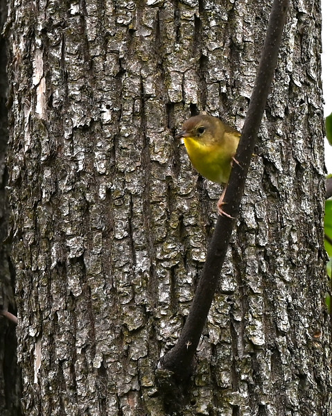Common Yellowthroat (f) in Wesleyville East Marsh. , in Area 1 (Photo by Gerry McKenna)
