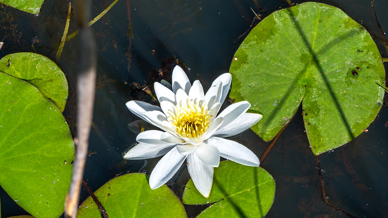 American White Waterlily