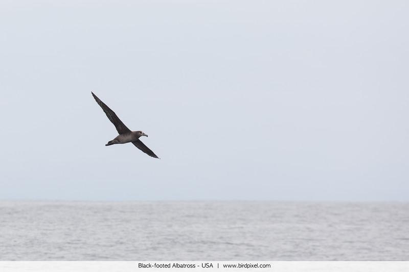 Black-footed Albatross - USA