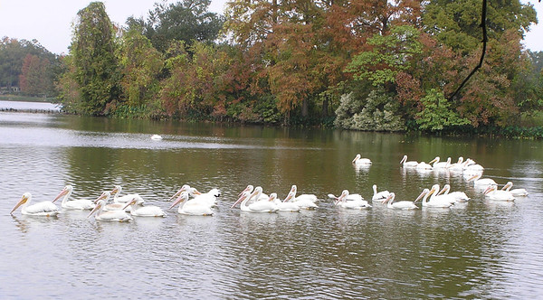 2013 American White Pelicans