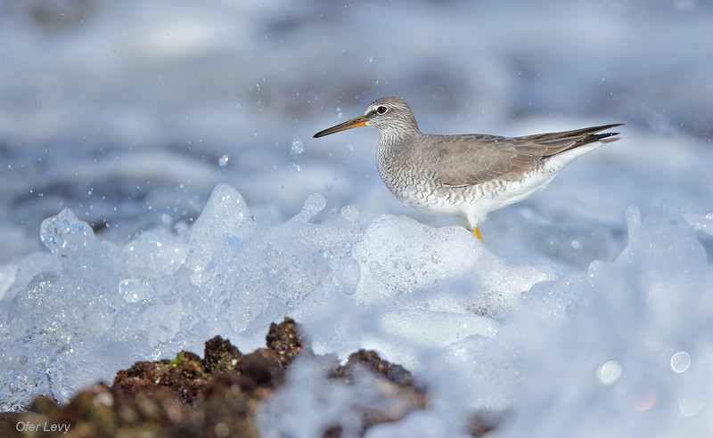 Grey-tailed Tattler breeding 6 MASTER.jpg