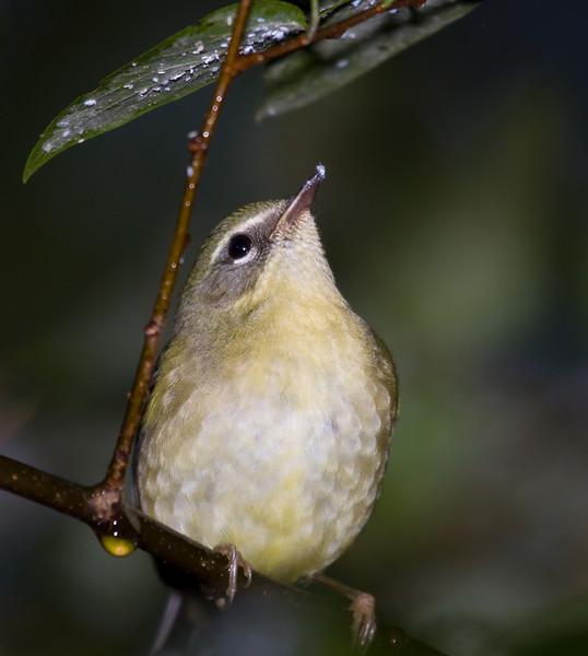 black throated blue warbler female