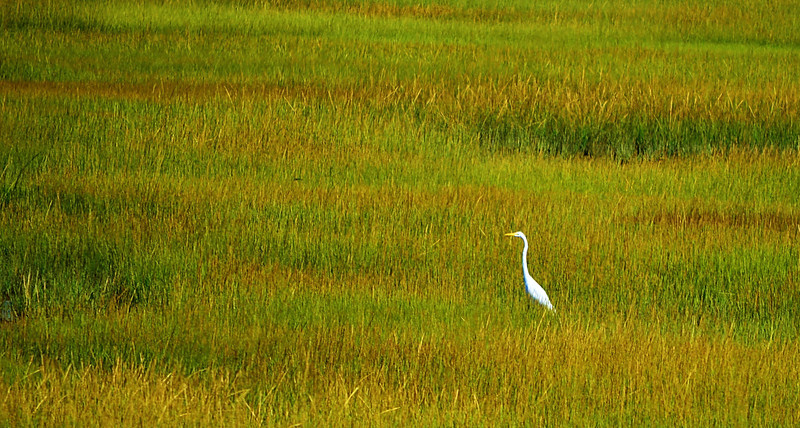 Heron in the Marsh - Alder Island North of Pt Lookout 1 3rds.jpg