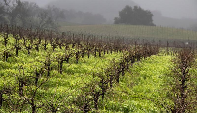 rainy vineyard