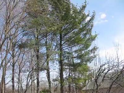 Pine tree houlie