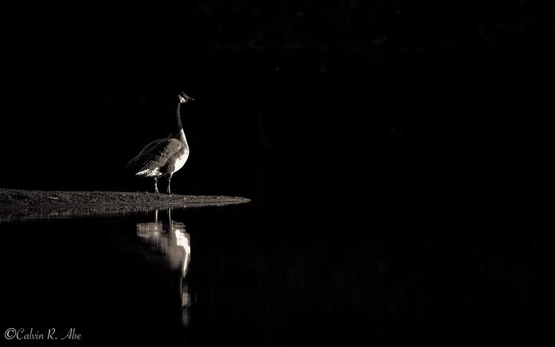 Sacramento Geese.jpg