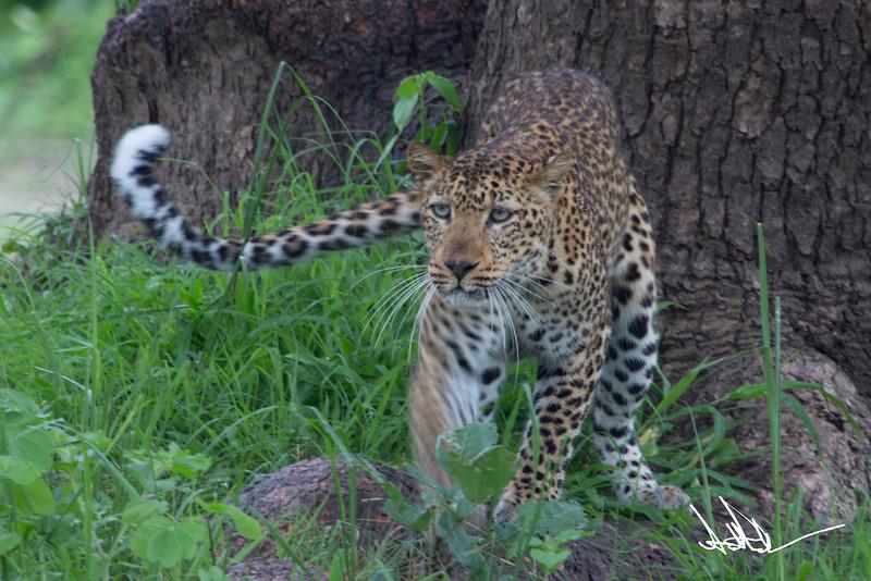 LeopardS-7.jpg