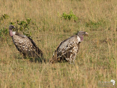 A pair of Vultures