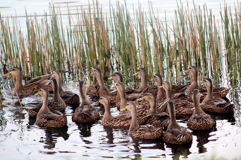 12_6_19 Mottled Ducks At Sunset.jpg