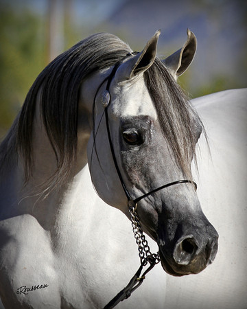 Illusion Arabians