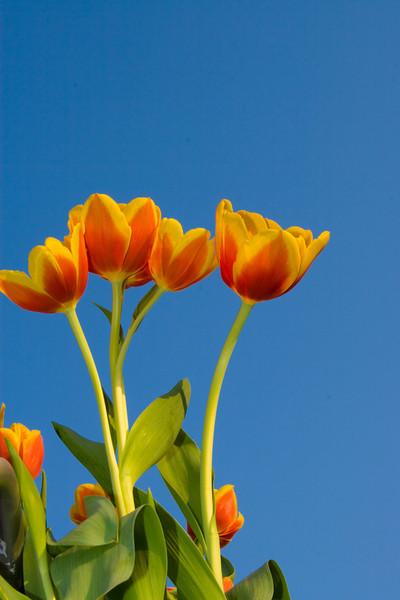 Tulips outdoor_25.jpg
