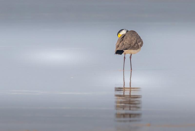 Masked lapwing, Fraser Island