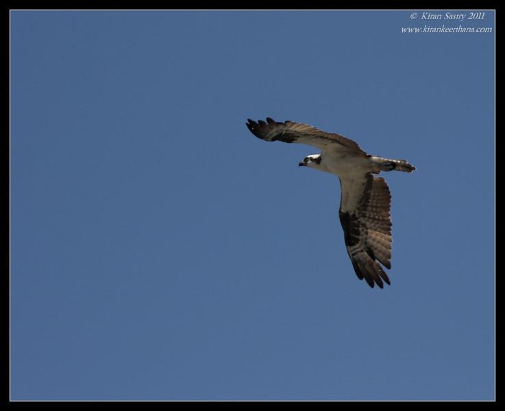 Osprey, La Jolla Cove, San Diego County, California, June 2011