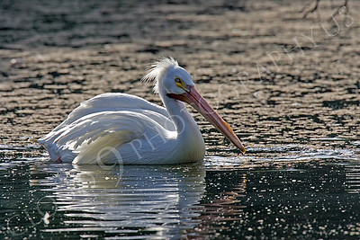 American White Pelican Wildlife Photography