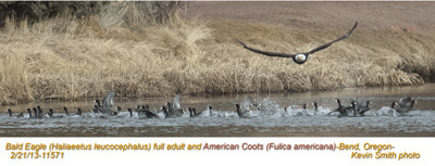 BadEagle&AmericanCoots11571.jpg