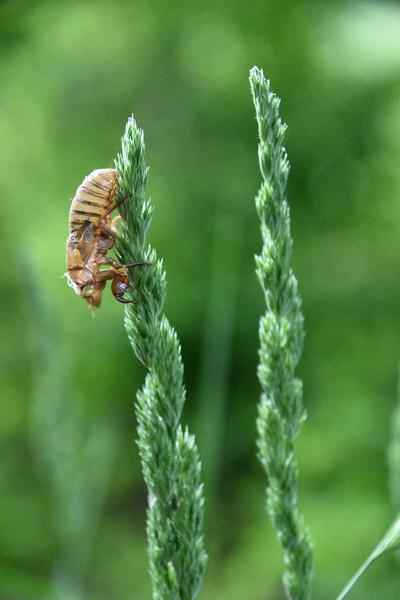 Brook V 17-Year Cicada Shed Exoskeleton
