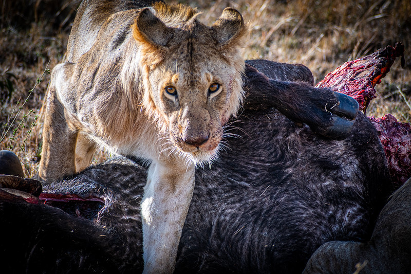 Lion Kills Cape Buffalo - Serengeti National Park, Tanzania