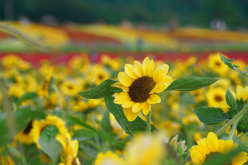 Sunflower Stand Out
