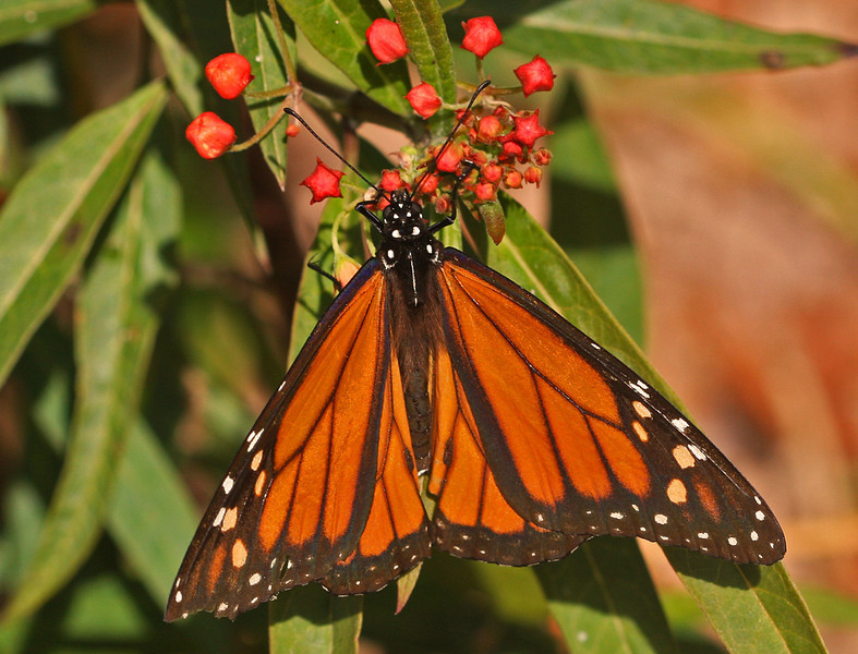 WB~Butterfly monarch selby florida1264.jpg