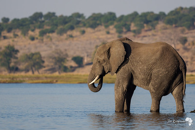 Elephant enjoying the afternoon on the Chobe